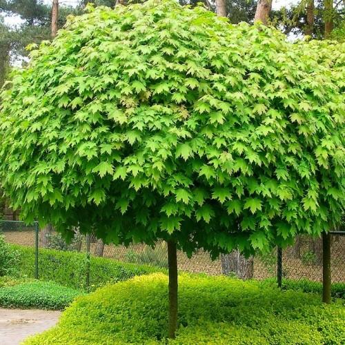 Acer platanoides 'Globosum' - Harilik vaher 'Globosum'