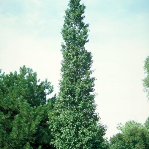 Alnus glutinosa 'Pyramidalis' - Sanglepp 'Pyramidalis'