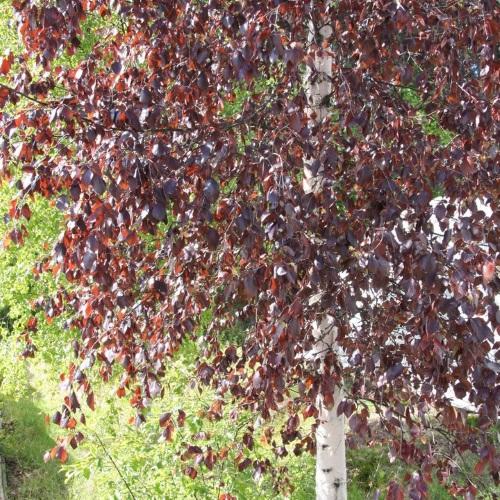 Betula pubescens 'Rubra' - Sookask 'Rubra'
