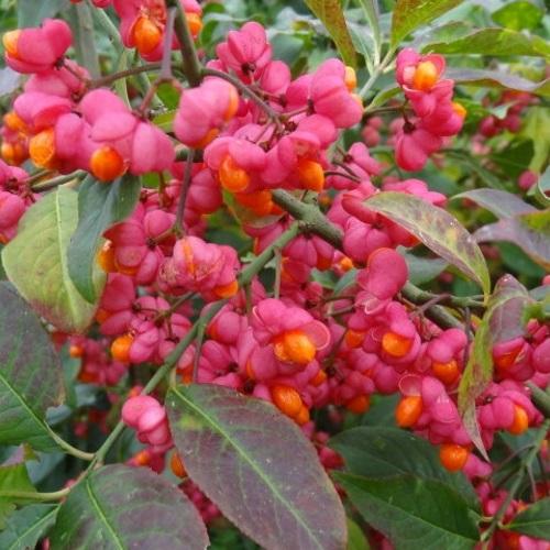 Euonymus europaeus - Harilik kikkapuu