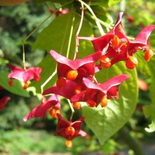 Euonymus macropterus - Suuretiivaline kikkapuu