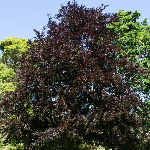 Fagus sylvatica 'Atropunicea' - Harilik pöök 'Atropunicea'