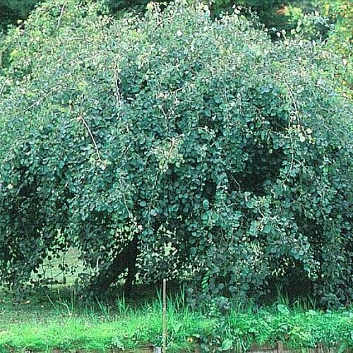 Populus tremula 'Pendula' - Harilik haab 'Pendula'