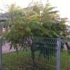 Rhus typhina - Äädikapuu