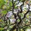 Tilia platyphyllos 'Tortuosa' - Suurelehine pärn 'Tortuosa'