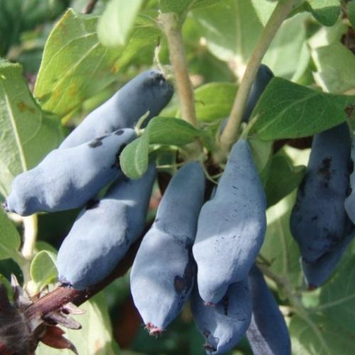 Lonicera caerulea var.edulis 'Nimfa' - Söödav kuslapuu 'Nimfa'