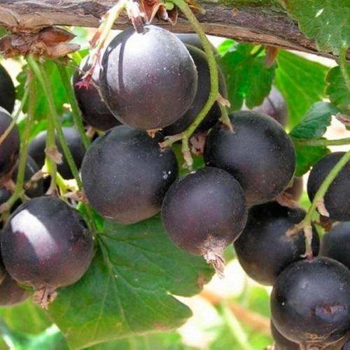 Ribes x nidigrolaria 'Josta' - Karussõstar 'Josta'