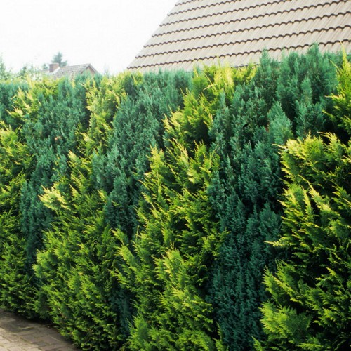 Thuja occidentalis 'Golden Brabant' - Harilik elupuu 'Golden Brabant'