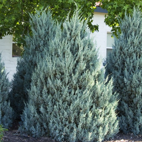 Juniperus scopulorum 'Wichita Blue' - Kaljukadakas 'Wichita Blue'