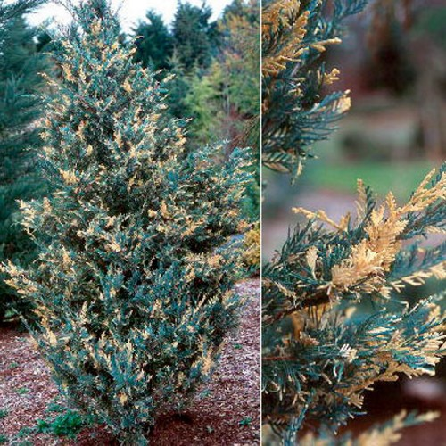 Juniperus scopulorum 'Snow Flurries' - Kaljukadakas 'Snow Flurries'