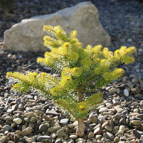 Abies koreana 'Henksgarden Yellow' - Korea nulg 'Henksgarden Yellow'