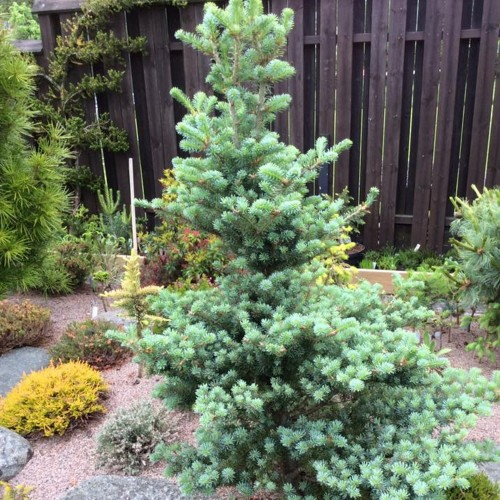 Abies koreana 'Shorty' - Korea nulg 'Shorty'