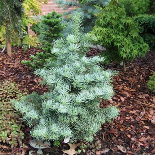 Abies concolor 'Archer's Dwarf' - Hall nulg 'Archer's Dwarf'