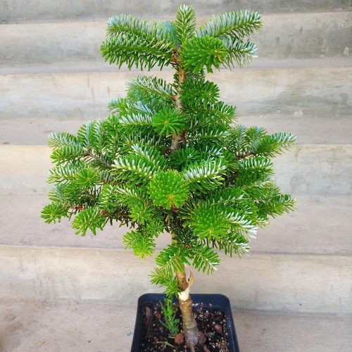 Abies koreana 'Houtmeyers' - Korea nulg 'Houtmeyers'