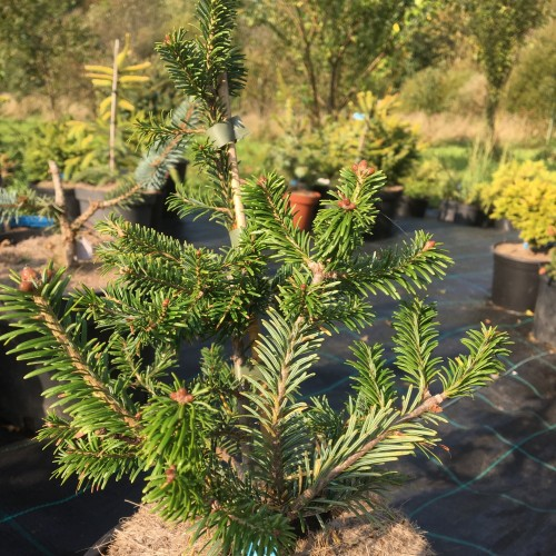 Abies balsamea 'Fox Farm' - Palsamnulg 'Fox Farm'