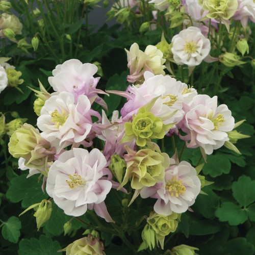 Aquilegia vulgaris 'Winky Double Rose and White' - Harilik kurekell 'Winky Double Rose and White'
