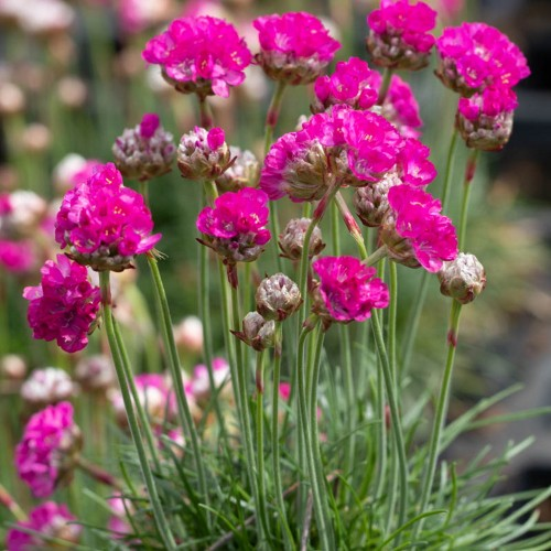 Armeria maritima 'Morning Star Weiss' - Harilik merikann 'Morning Star Weiss'