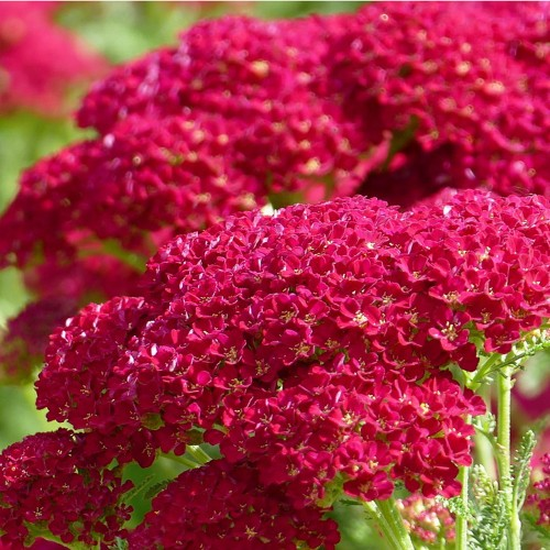 Achillea millefolium 'New Vintage Red' - Harilik raudrohi 'New Vintage Red'