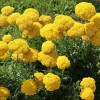 Achillea filipendulina 'Cloth of Gold' - Angervaks-raudrohi 'Cloth of Gold'
