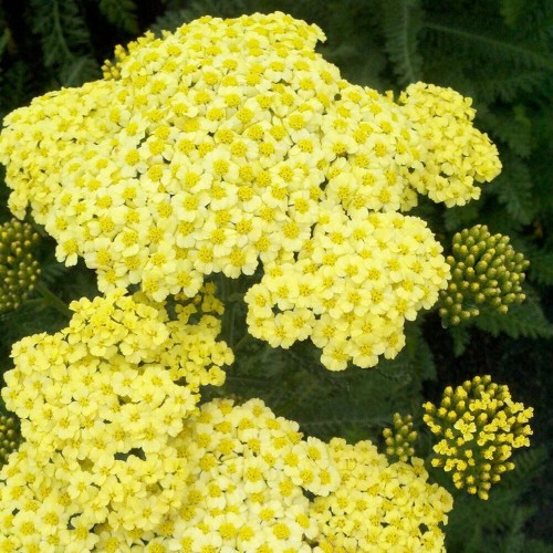 Achillea millefolium 'Sunny Seduction' - Harilik raudrohi 'Sunny Seduction'