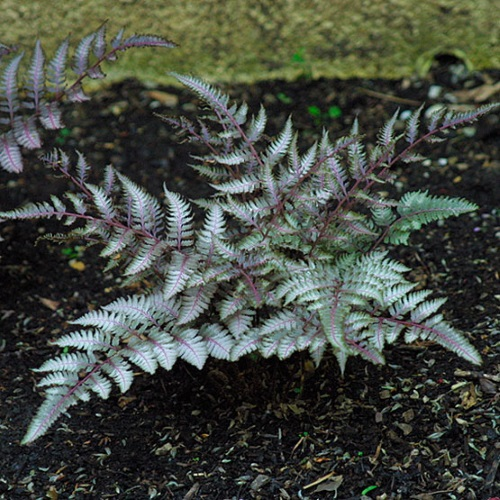 Athyrium niponicum 'Ursulas Red' - Nipponi naistesõnajalg 'Ursulas Red'