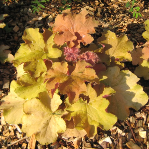 Heuchera 'Big Top Gold' - Helmikpööris 'Big Top Gold'
