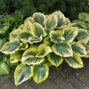 Hosta 'Majesty' - Hosta 'Majesty'