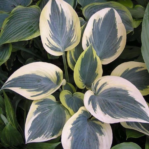 Hosta 'Valley's Glacier' - Hosta 'Valley's Glacier'