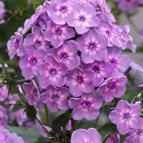 Phlox paniculata 'Rainbow Dancer' - Aed-leeklill 'Rainbow Dancer'