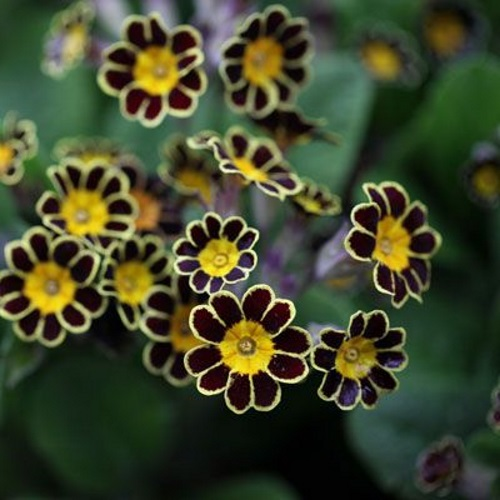 Primula elatior 'Gold Lace Dark Red' - Kõrge priimula 'Gold Lace Dark Red'