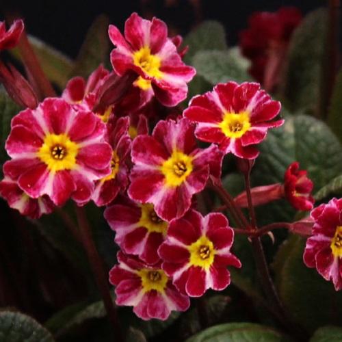 Primula vulgaris 'Dark Rosaleen' - Priimula 'Dark Rosaleen'