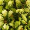 Picea glauca 'Daisy's White' - Kanada kuusk 'Daisy's White'