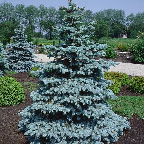 Picea pungens 'Hoopsii' - Torkav kuusk 'Hoopsii'