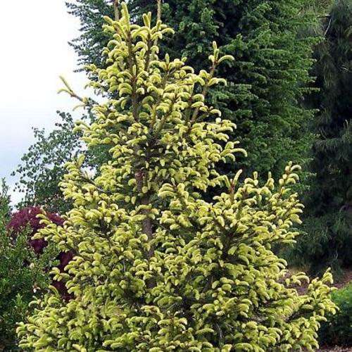 Picea abies 'Aurea' - Harilik kuusk 'Aurea'
