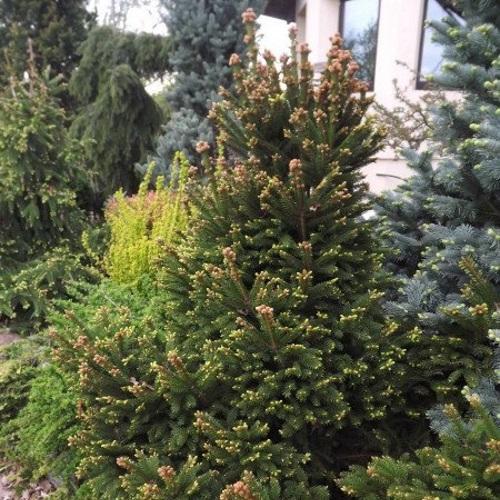 Picea abies 'Barryi' - Harilik kuusk 'Barryi'