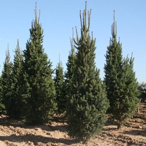 Picea abies 'Cupressina' - Harilik kuusk 'Cupressina'