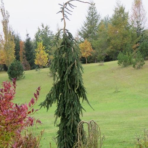 Picea abies 'Frohburg' - Harilik kuusk 'Frohburg'