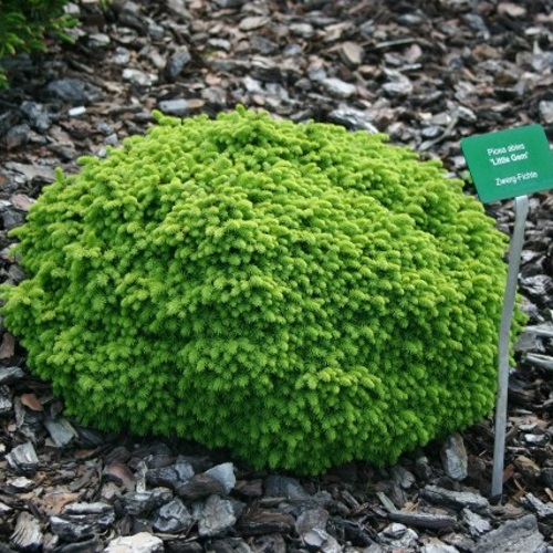 Picea abies 'Little Gem' - Harilik kuusk 'Little Gem'