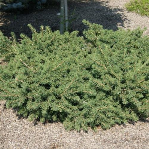 Picea abies 'Maxwellii' - Harilik kuusk 'Maxwellii'