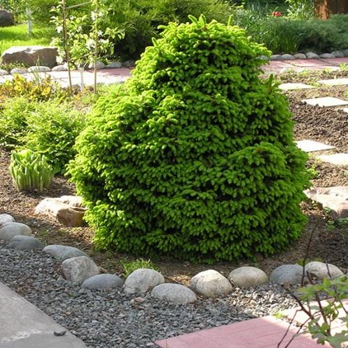 Picea abies 'Ohlendorffii' - Harilik kuusk 'Ohlendorffii'