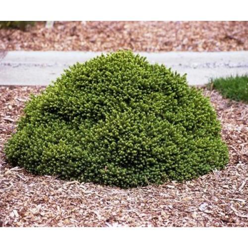 Picea abies 'Pumila Nigra' - Harilik kuusk 'Pumila Nigra'