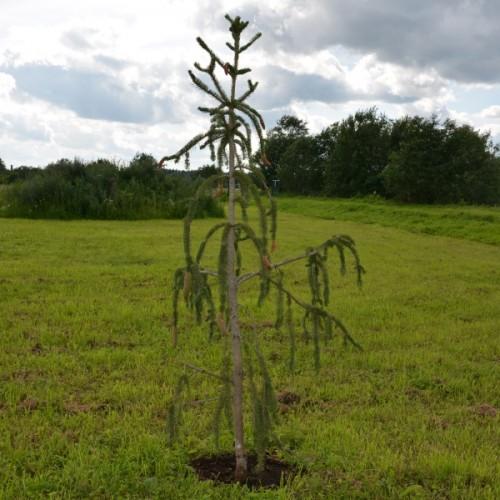 Picea abies 'Virgata' - Harilik kuusk 'Virgata'