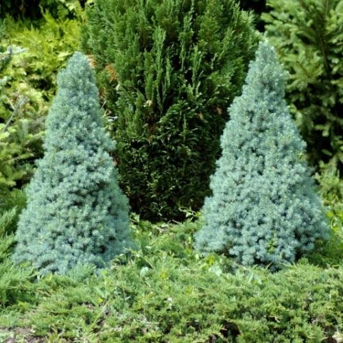 Picea glauca 'Sander's Blue' - Kanada kuusk 'Sander's Blue'