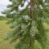 Picea omorika 'Fassei' - Serbia kuusk 'Fassei'