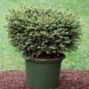 Picea omorika 'Karel' - Serbia kuusk 'Karel'