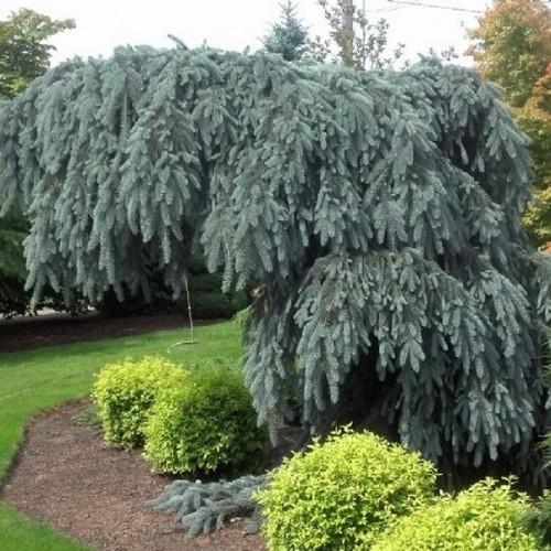 Picea pungens 'Glauca Pendula' - Torkav kuusk 'Glauca Pendula'