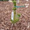 Picea pungens 'Lucky Strike' - Torkav kuusk 'Lucky Strike'