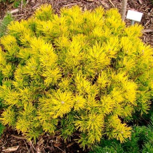 Pinus mugo 'Carsten's Wintergold' - Mägimänd 'Carsten's Wintergold'