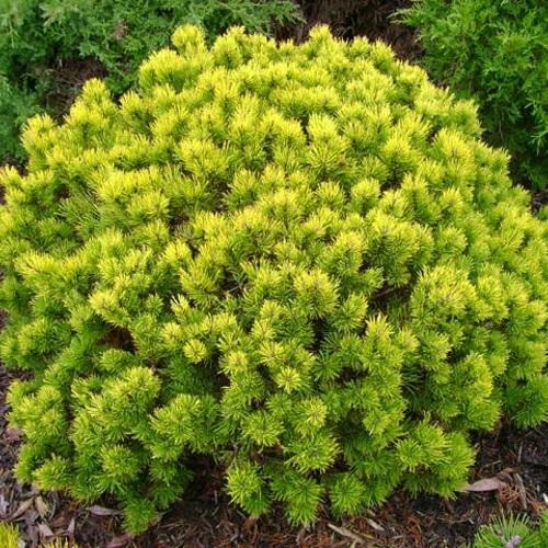 Pinus mugo 'Ophir' - Mägimänd 'Ophir'