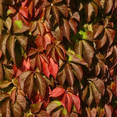Parthenocissus quinquefolia - Harilik metsviinapuu